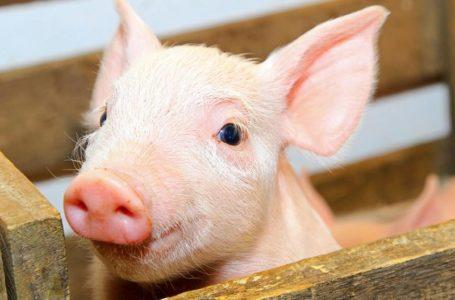 Білорусь обмежила ввезення свинини з Тернопільщини
