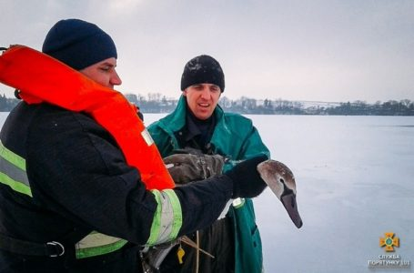 На Тернопільщині від загибелі рятують лебедів (Фото)