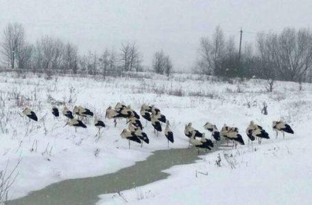 Як врятувати лелек у снігопади