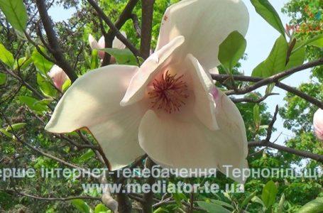 Тернопіль тішить весняною красою (Відео)