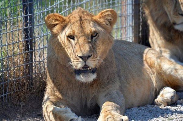 У міні-зоопарку на Тернопільщині лев поранив дитину