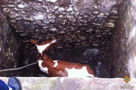 На Тернопіллі корову з майже 3-метрової ями витягали пожежними рукавами