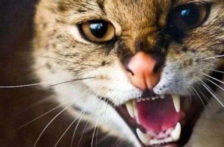 У Тернополі оголосили карантин: хвора на сказ кішка покусала власника