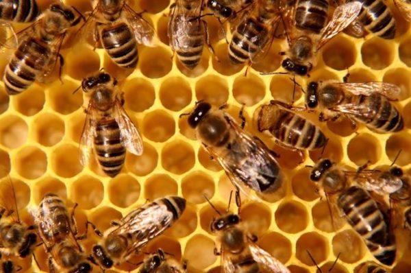 На Тернопільщині масово вимирають бджоли