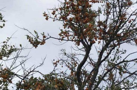 Природна аномалія: на Тернопільщині замість грибів збирають аличу