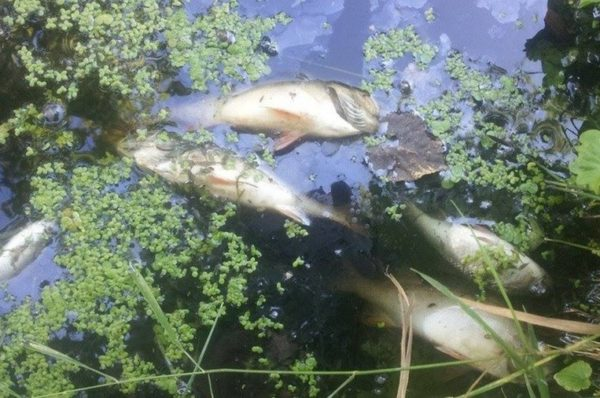 На Гусятинщині через злив нечистот у річці загинула риба