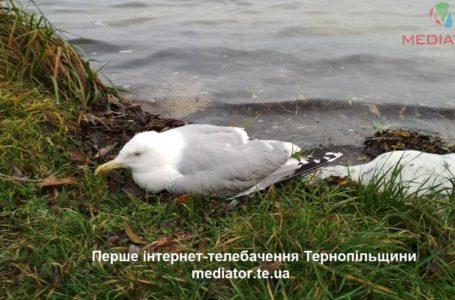 «Це не пташиний грип», – у столиці визначають причину отруєння мартинів
