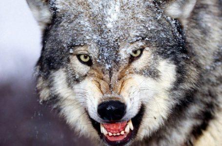 На Тернопільщині розпочався масовий відстріл вовків