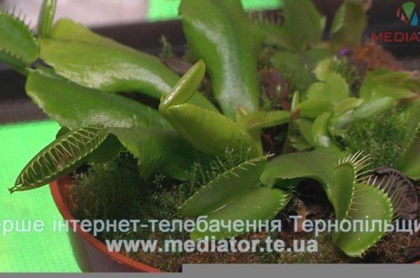 З'їдають мух і можуть поранити. У Тернополі – рослини-хижаки (Відео)