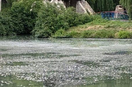 У річці, яка протікає через тернопільський гідропарк, загинула риба (Наживо/Відео/Фото)