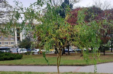 На Майдані Волі висадили декоративні червонолисті дерева