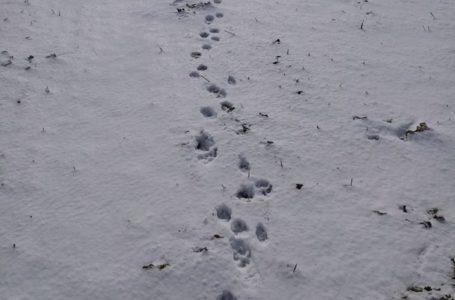 У селі Дичків на Тернопільщині помітили вовчі сліди