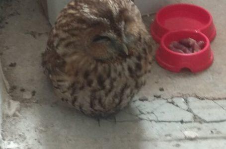 У Кременці знайдену сову вилікували та відпустили на волю (Фото)