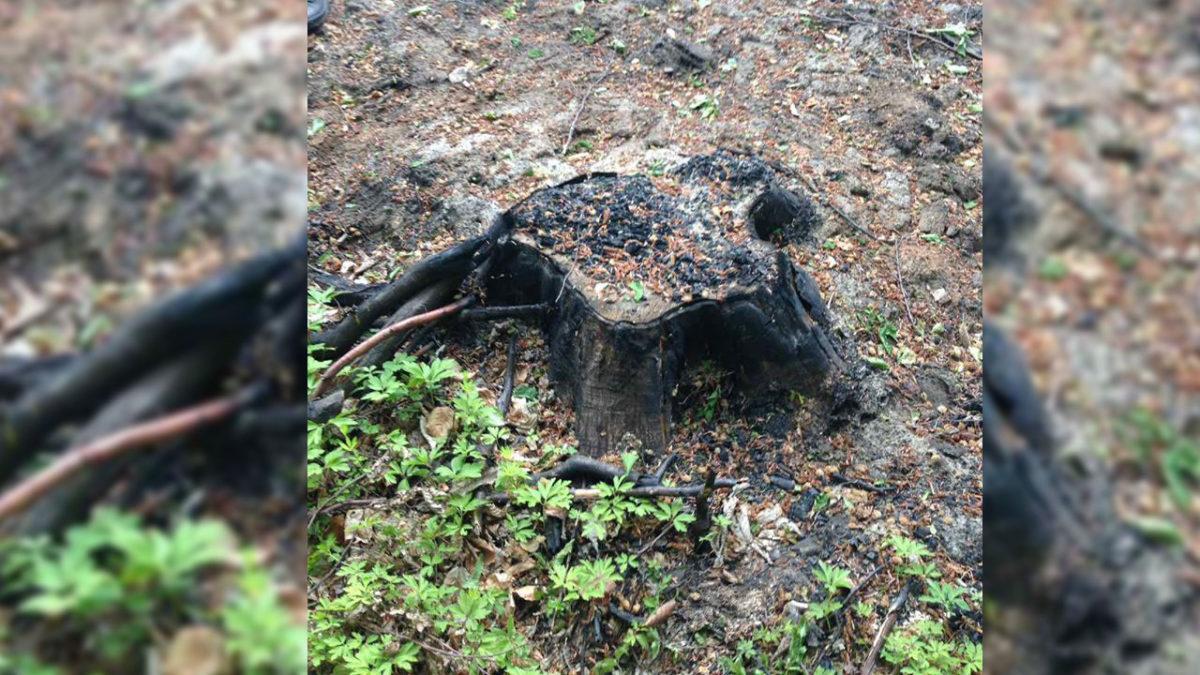 На Тернопільщині вирубують дерева, а пні спалюють (Фото)