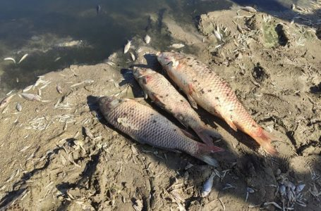 Не через гній, а через брак кисню. На Тернопільщині встановили чому гине риба в ставі (Відео)