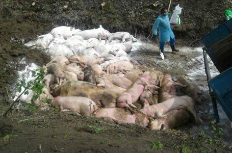 """Небезпечна хвороба """"косить"""" поголів'я свиней на Підволочищині (Фото)"""