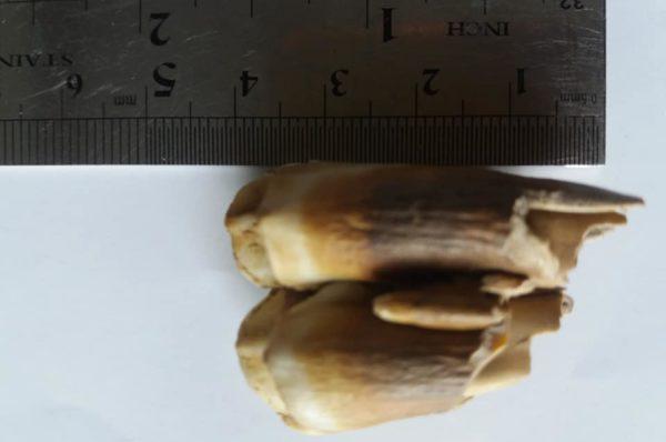 На Шумщині дівчина знайшла в лісі зуб доісторичного бізона